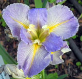 Louisiana Iris 'Blue Splatter'