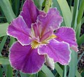 Louisiana Iris Chuck Begnaud