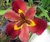 Louisiana-Iris-Flame-On