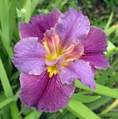 Louisiana-Iris-German-Coast