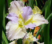 Louisiana-Iris-Gulf-Moonglow