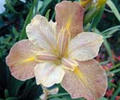 Louisiana-Iris-Honey-Star