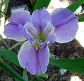 Louisiana-Iris-Now-and-Forever