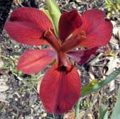 Louisiana-Iris-Red-Dazzler