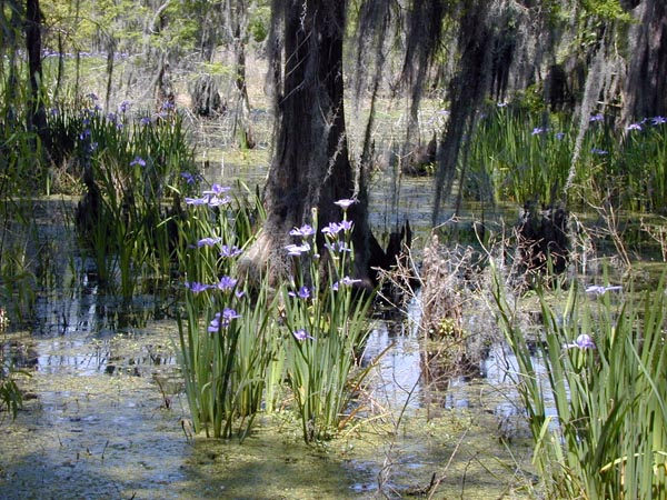 Images of Iris Giganticaerulea in Jean Lafite, Louisianajean lafitte town